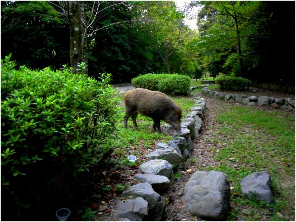 Japanese wild boar foraging at dusk