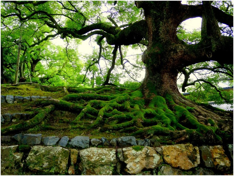 Tree with mossy roots and stone wall