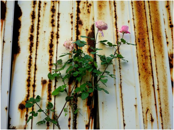 Roses and rust
