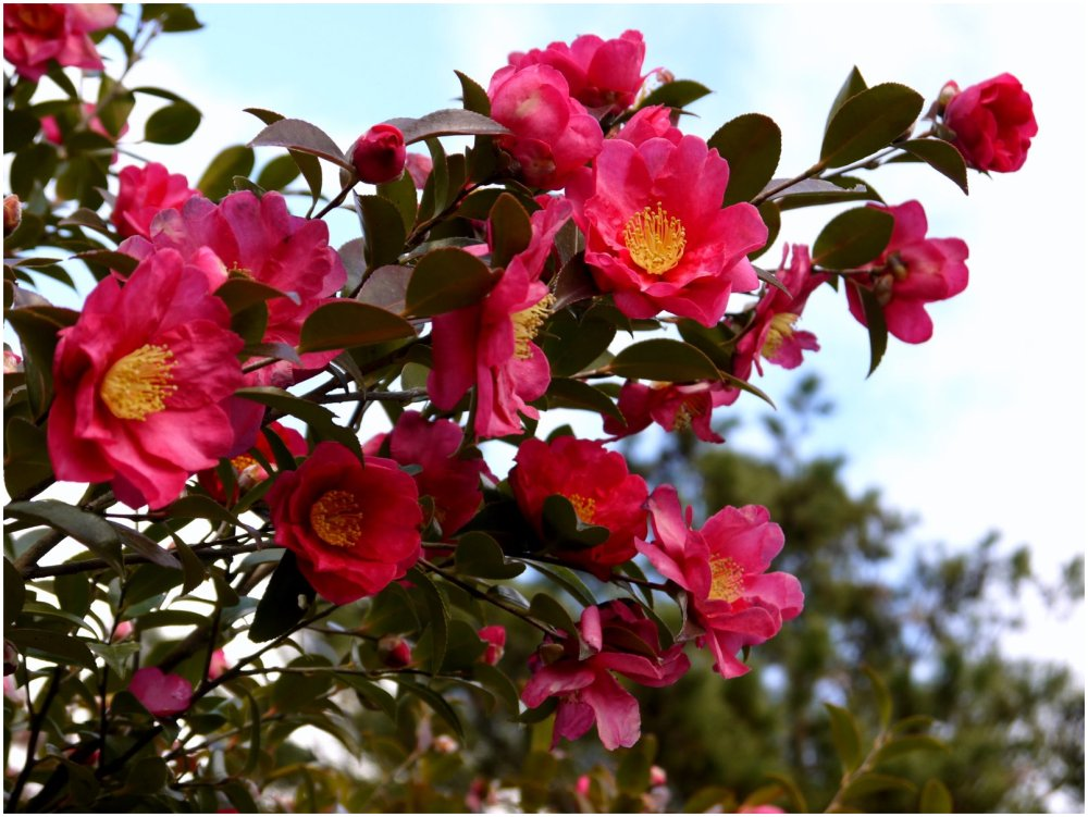 Branch of camellia tree