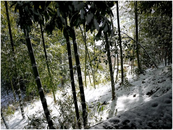 Snow, sunlight and bamboo