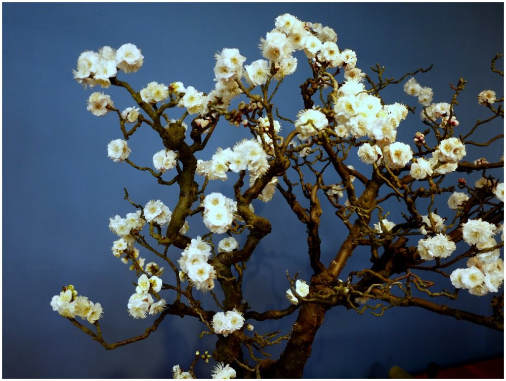 Early plum blossom