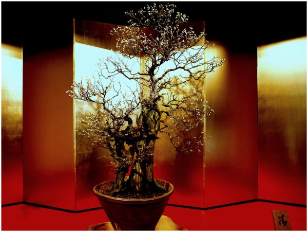 Large bonsai plum on display in Japan