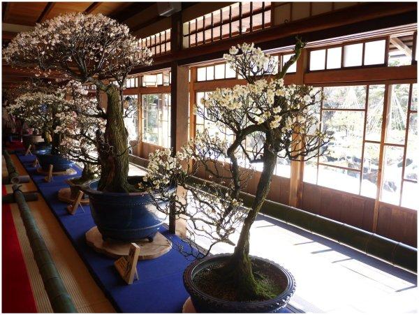 Bonsai plum trees on display