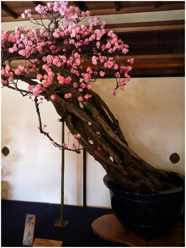 Very old bonsai plum in bloom