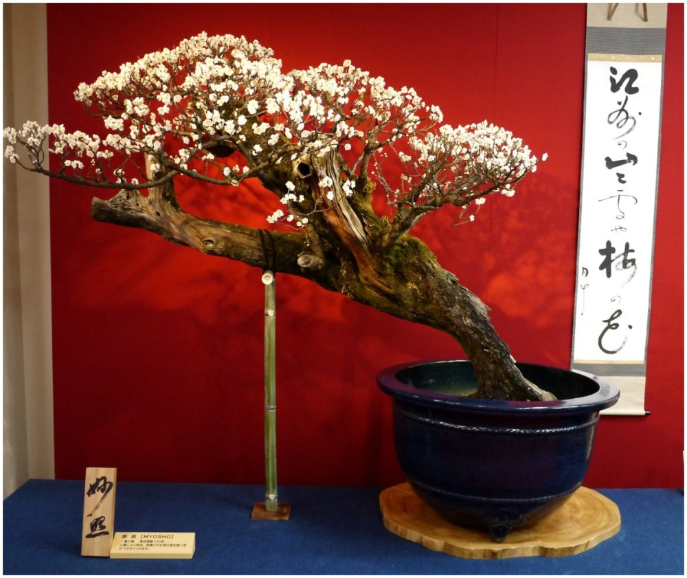 Bonsai plum in bloom