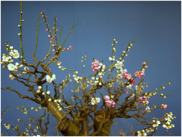Two color blossom on bonsai plum tree