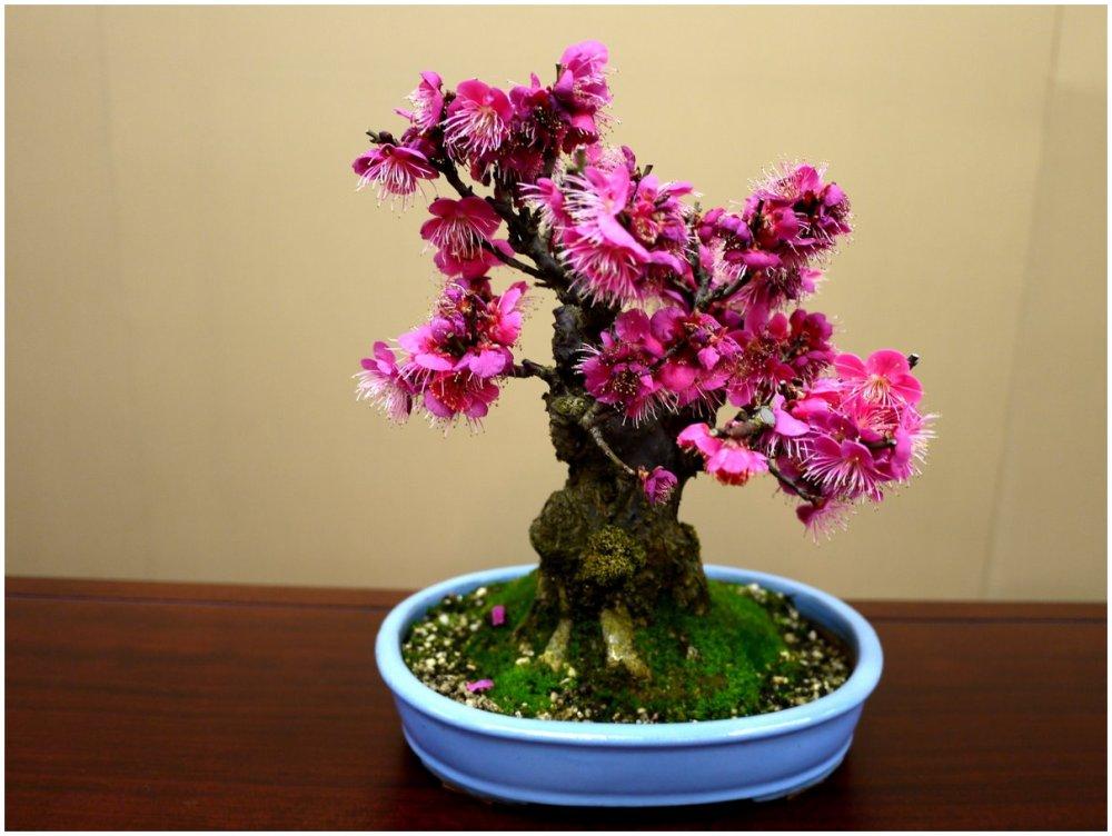 Pink bonsai plum tree