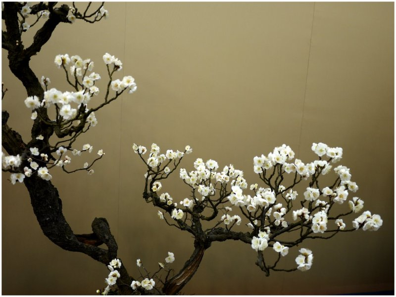 White plum blossom plant nature photos kates mostly japan white plum blossom mightylinksfo