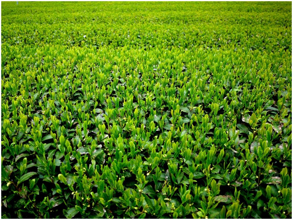 Green tea at a tea plantation in Japan