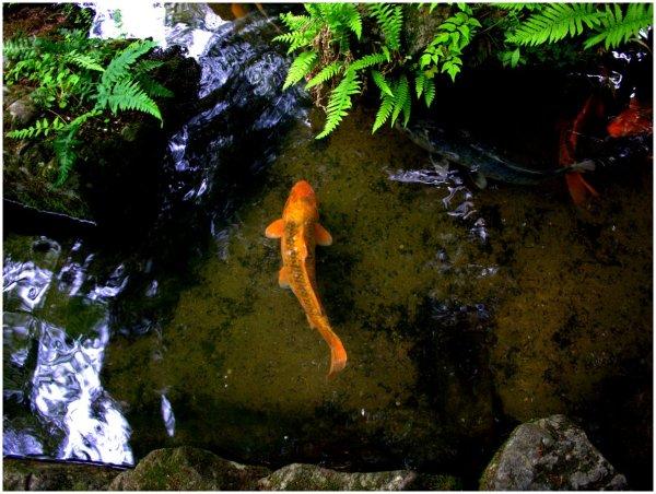 Orange koi in a pond