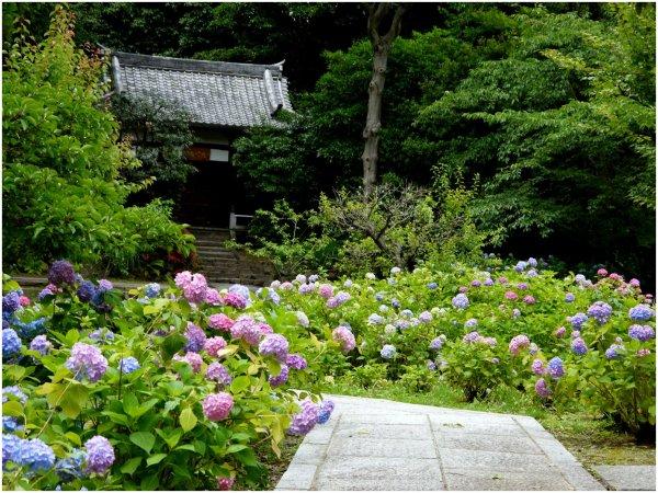 Hydrangea garden at Japanese temple