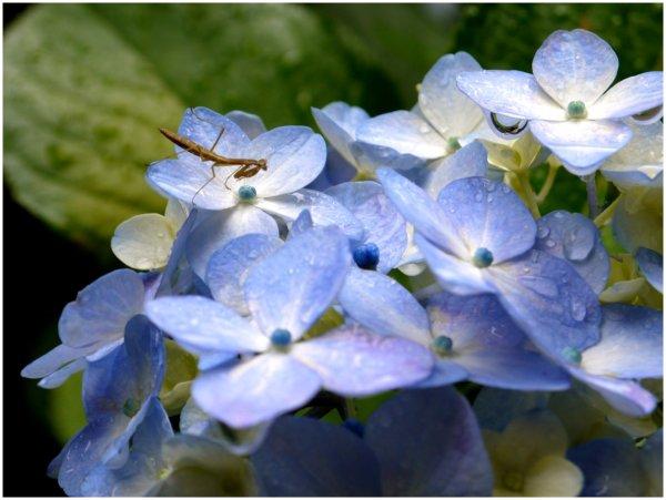 Small praying mantis on a blue hydrangea flower