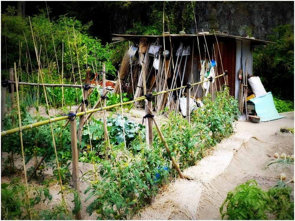 Vegetable garden with shed
