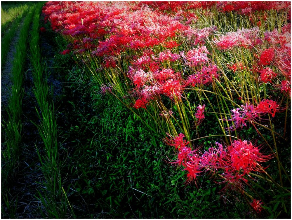 Red flowers in the rice fields