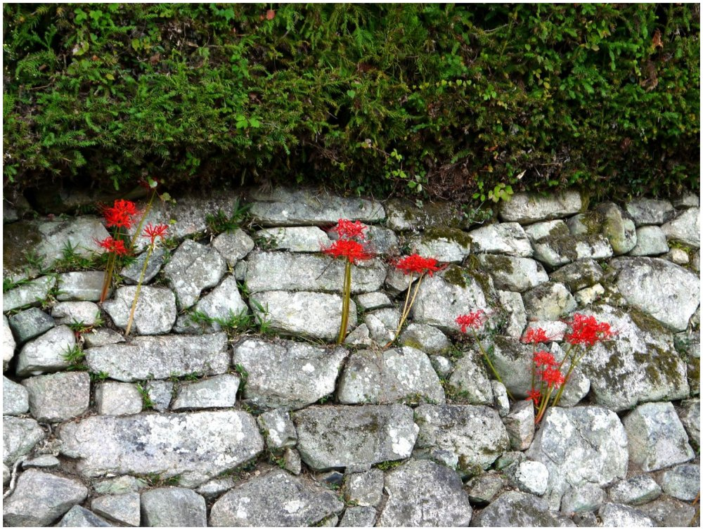 Red flowers growing in stone wall