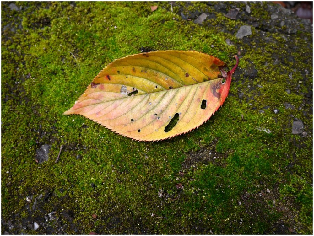 Yellow leaf on green moss