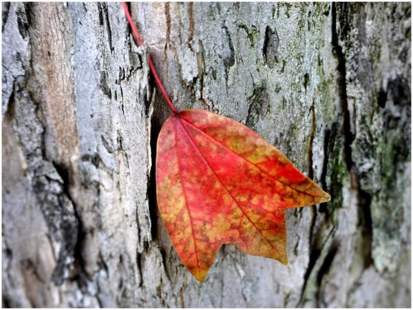 Autumn leaf on a tree trunk