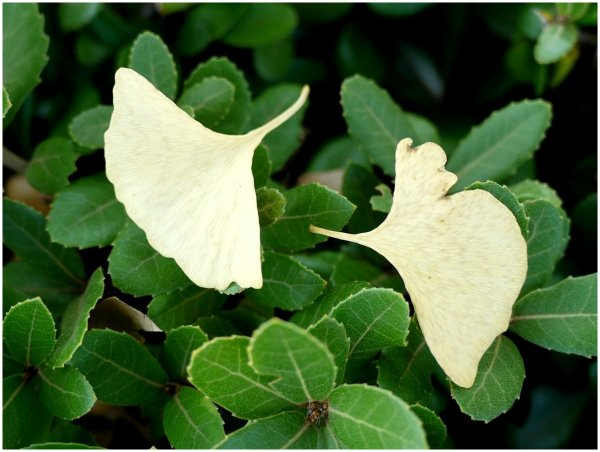 Pale gingko leaves
