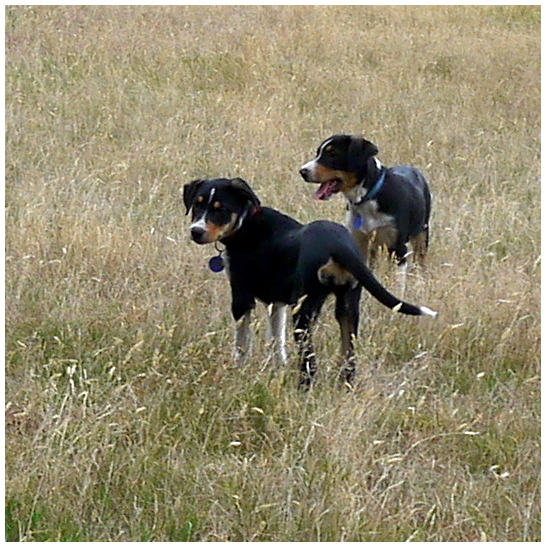 Two dogs in long grass