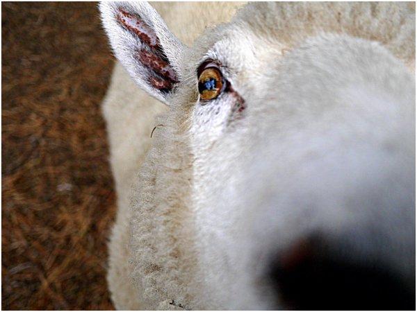 Closeup of sheep's eye