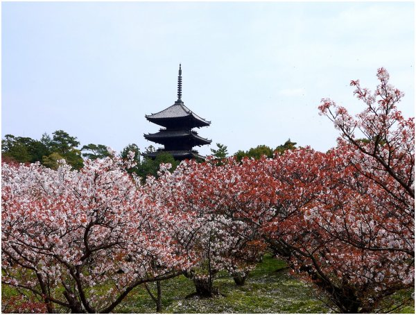 Japanese pagoda and cherry blossom