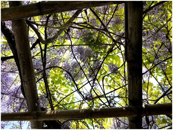 Looking up at wisteria