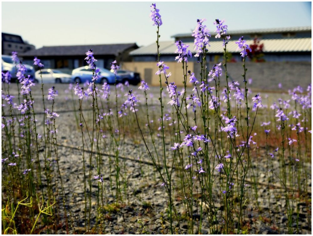 Wildflowers in a carpark