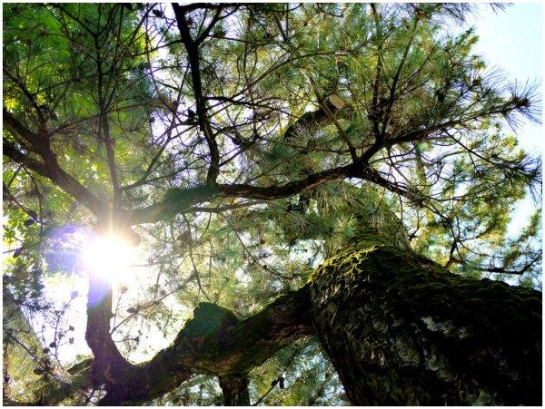 Sun shining through pine tree branches