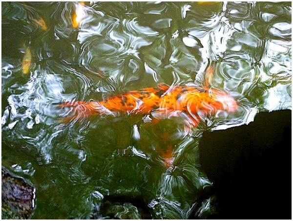 Koi lurking beneath rippled water