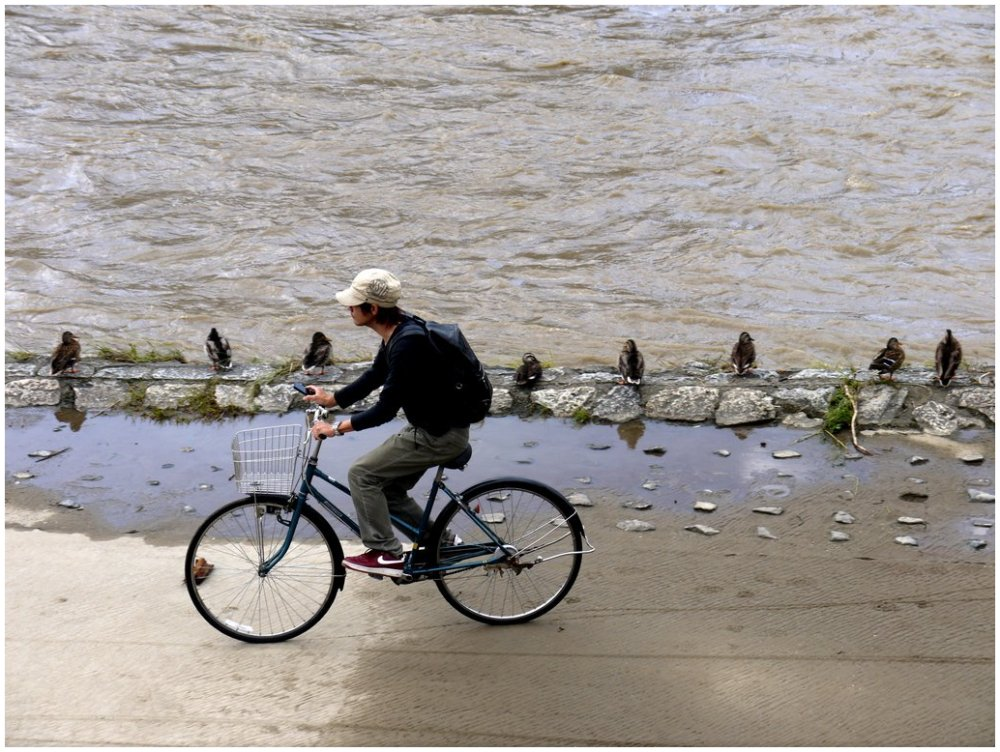 Boy riding bicycle past ducks on river bank