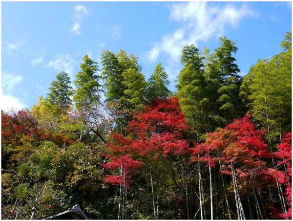Bamboo forest & red maple leaves in autumn