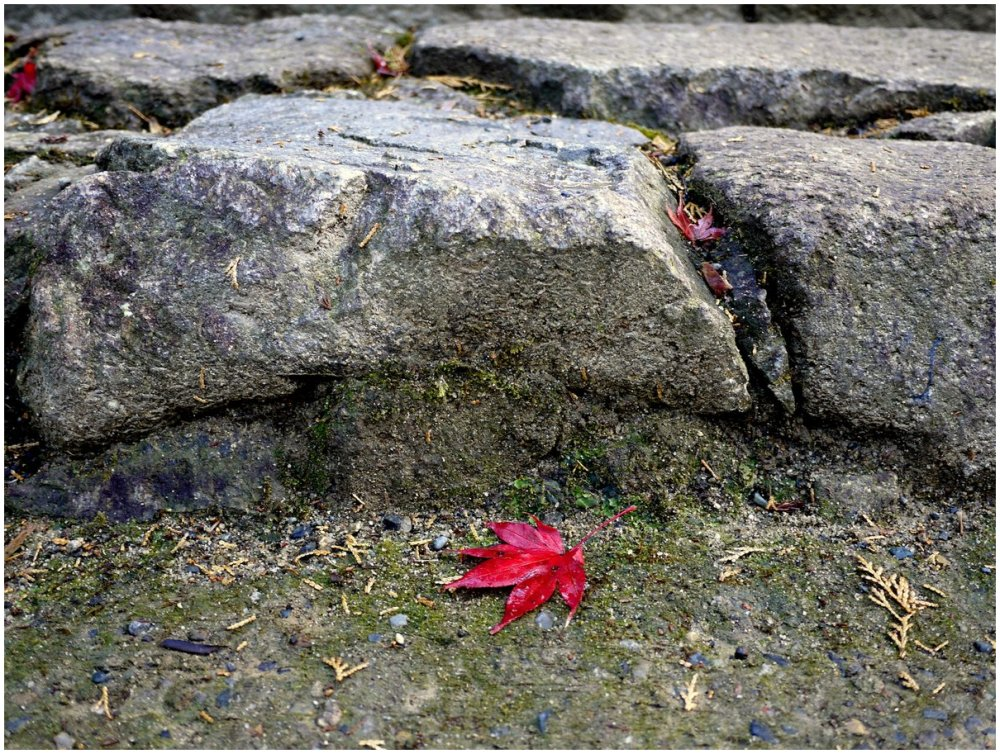 Red maple leaf & rocks