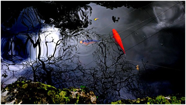 Pond with koi and reflections