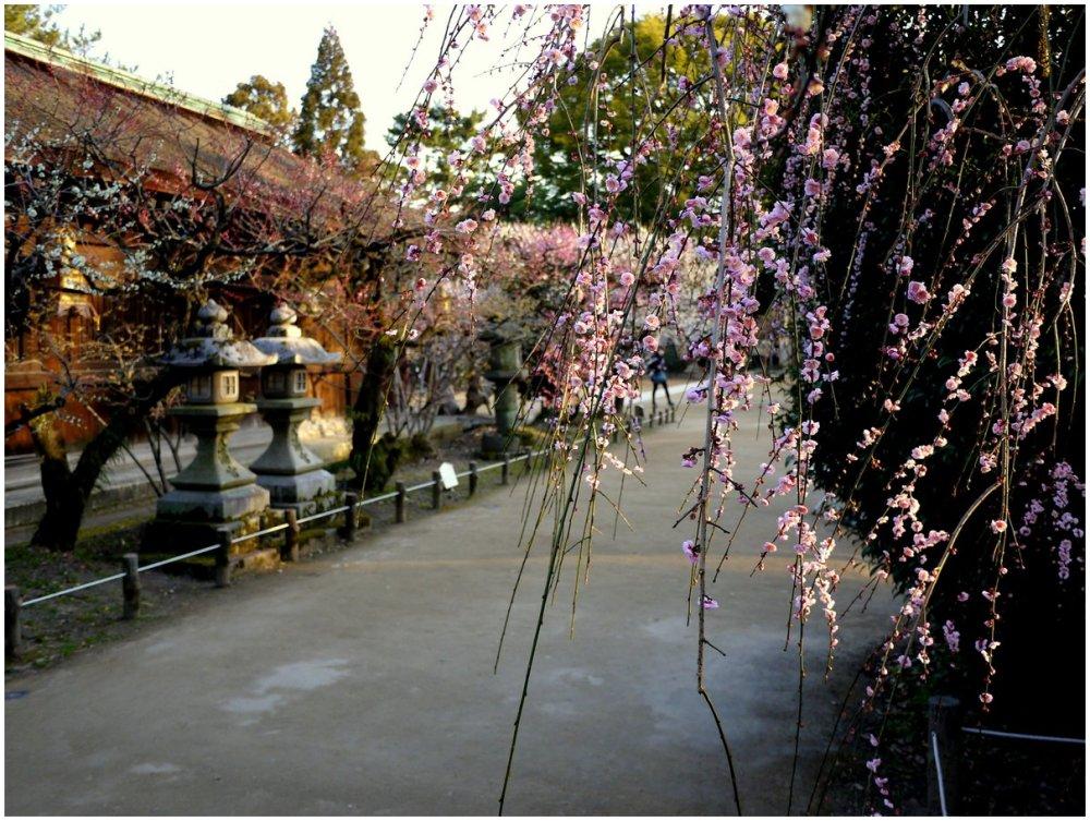 Weeping plum blossom