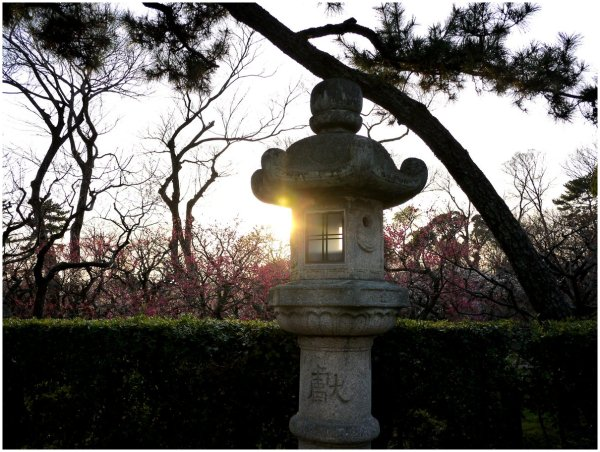 Sunset in a Japanese plum tree garden