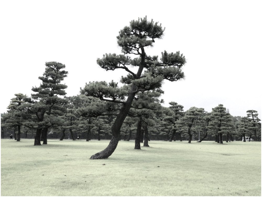 Pine trees in park near Tokyo imperial palace