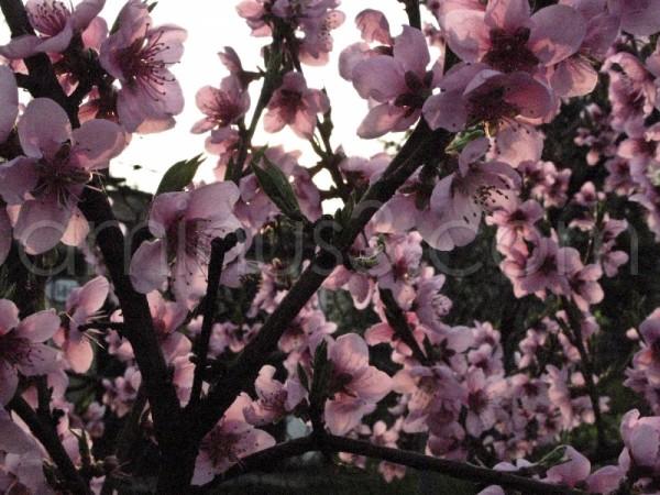 Peach flowers..