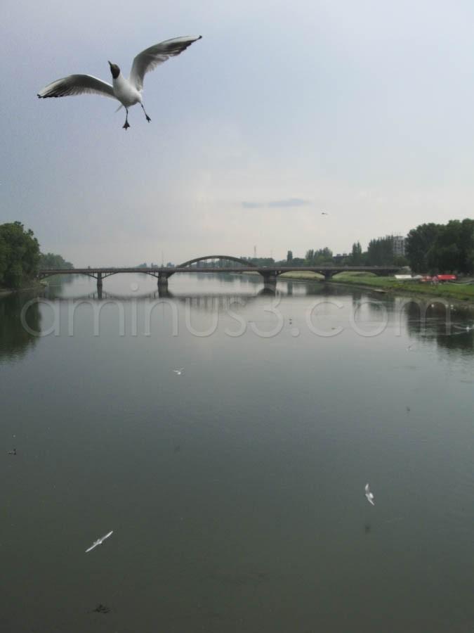 Feeding of gull on Piestany spa bridge.