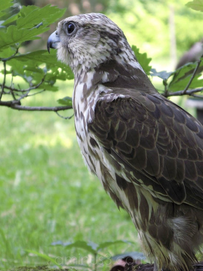 Bird show on children's day in Kocovce Slovakia.
