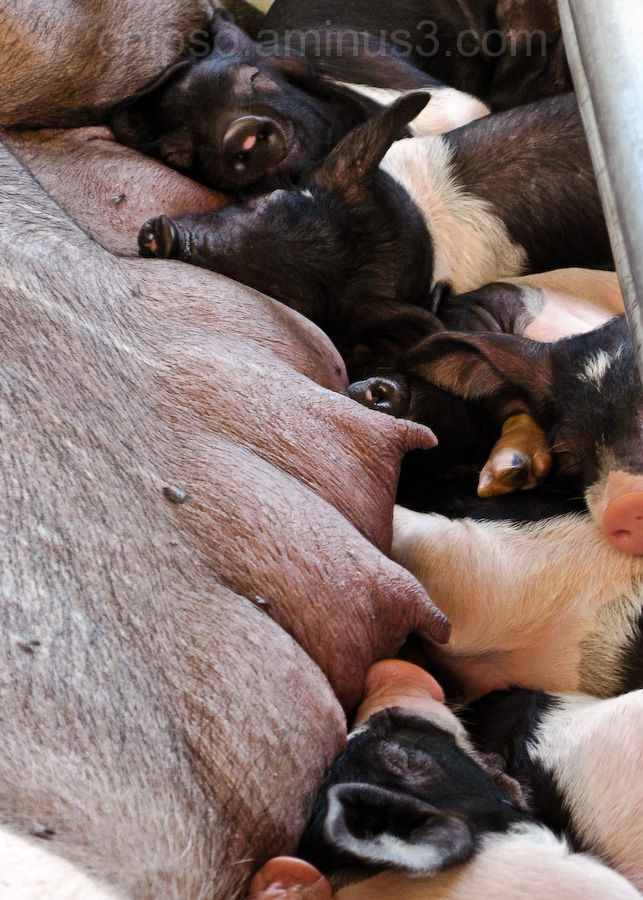 Couple of little pigs resting on mothers breasts