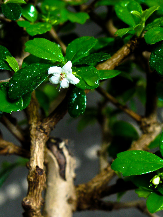 Ligustrum chineese in blossom.