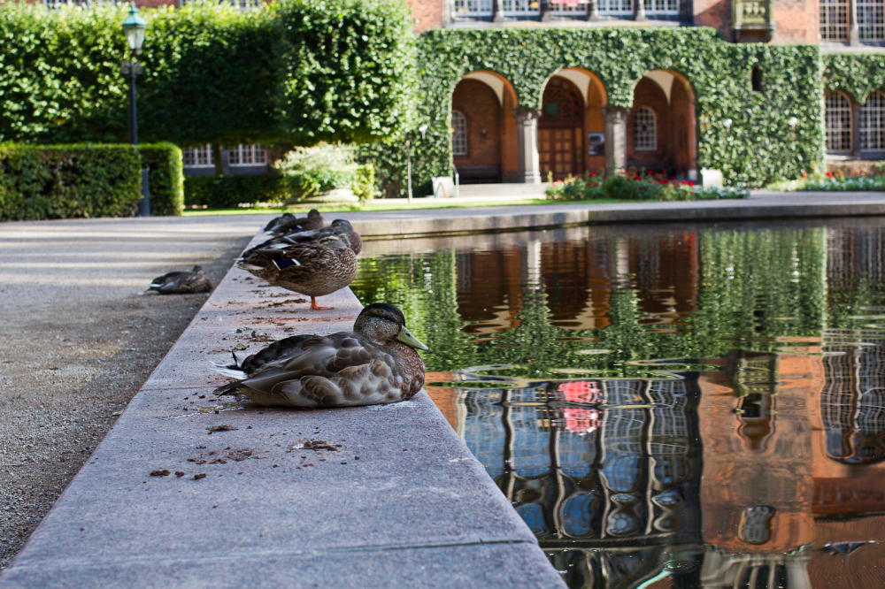 Duck taking rest in the royal garden Danmark.
