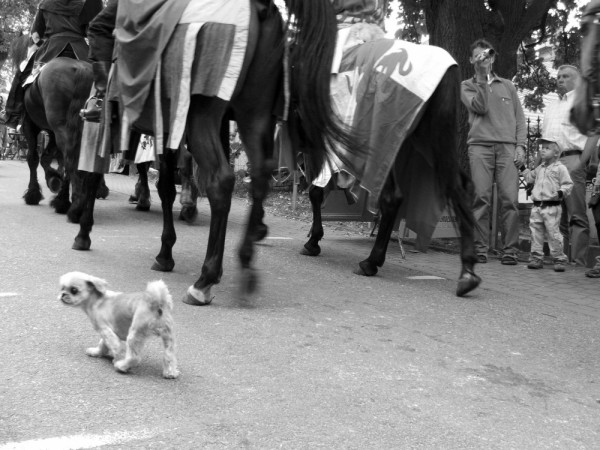 Dog marching with the horses