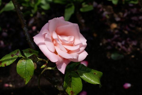 ...Rose Garden