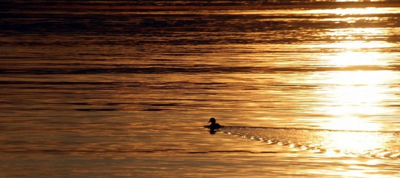 Golden Duck