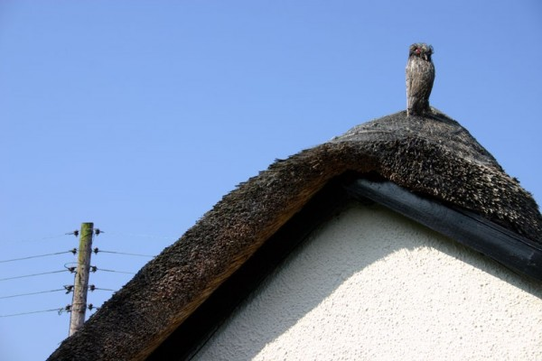 Owl and the Thatch