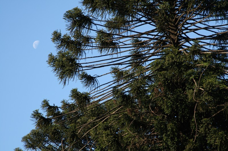 monkey puzzle tree and moon
