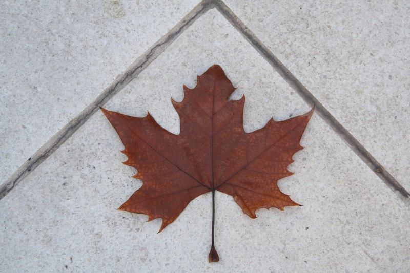 maple leaf in buenos aires