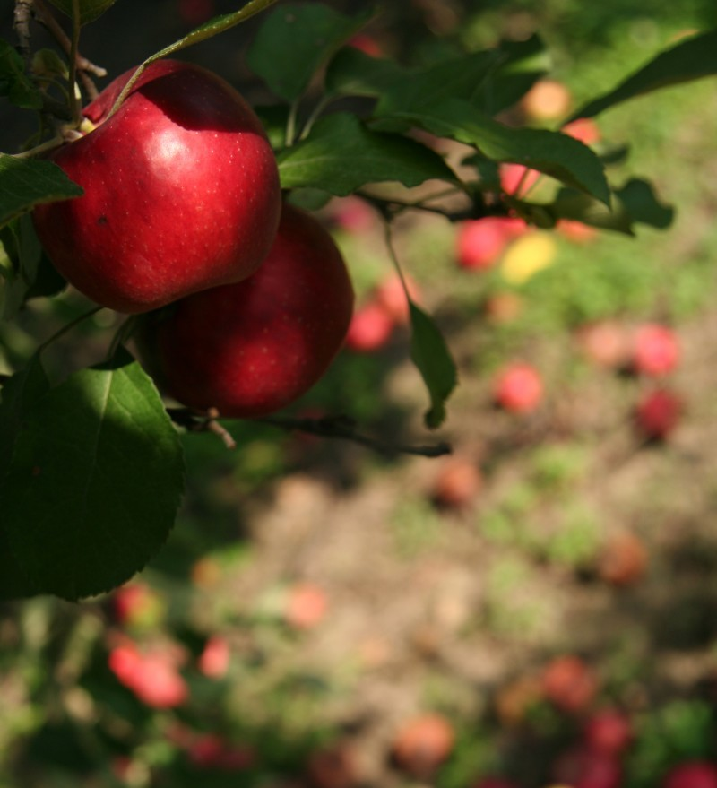 apples on the tree and ground